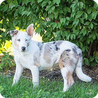 Australian Cattle Dog Mix Puppy for adoption in Naperville, Illinois - Casper Jr.