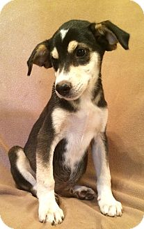 Husky/Labrador Retriever Mix Puppy for adoption in SOUTHINGTON, Connecticut - Sasha
