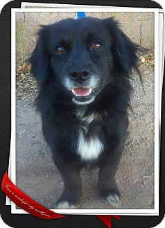 Tibetan Spaniel/Pekingese Mix Dog for adoption in Apache Junction, Arizona - Shorty