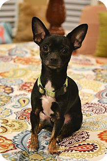 """Chihuahua Mix Dog for adoption in Bedminster, New Jersey - James """"Bond"""""""