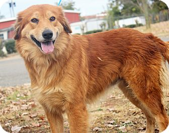 Golden Retriever Mix Dog for adoption in BIRMINGHAM, Alabama - Iris