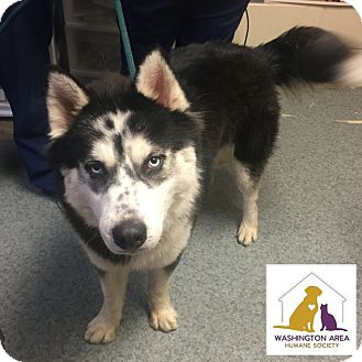 Husky Mix Dog for adoption in Eighty Four, Pennsylvania - Luca