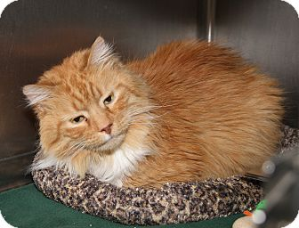 Domestic Mediumhair Cat for adoption in Marietta, Ohio - Colby (Neutered & Declawed)