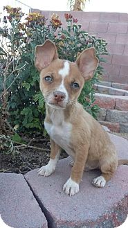Chihuahua Mix Puppy for adoption in Las Vegas, Nevada - Kirby bonded with DJ