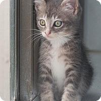 Adopt A Pet :: Lumiere - Dallas, TX