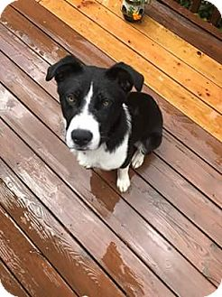Border Collie/Labrador Retriever Mix Dog for adoption in Richmond, Virginia - Tigger