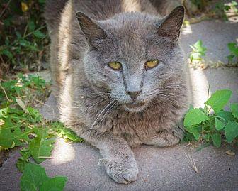 Russian Blue Cat for adoption in Corinne, Utah - Freddy
