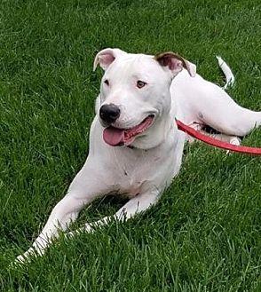 Boxer Mix Dog for adoption in DeSoto, Iowa - Augusta