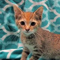 Oriental/Domestic Shorthair Mix Cat for adoption in Fayetteville, Tennessee - Chloe
