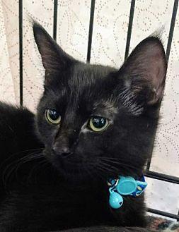 Domestic Shorthair Kitten for adoption in Dallas, Texas - Lando