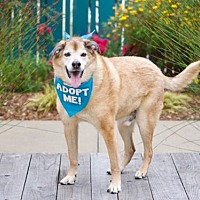 Shepherd (Unknown Type)/Chow Chow Mix Dog for adoption in Pacific Grove, California - Max Shepherd