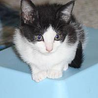 Adopt A Pet :: CAMILLE (Kitten) - New Bern, NC