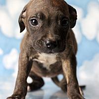 Adopt A Pet :: Zafina - Waldorf, MD
