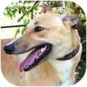 Greyhound Dog for adoption in Dallas, Texas - Saylor