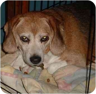 Beagle Dog for adoption in Waldorf, Maryland - Edgar