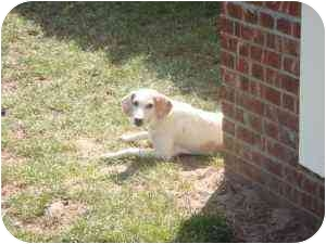 Treeing Walker Coonhound Mix Dog for adoption in East Hampton, New York - Layla