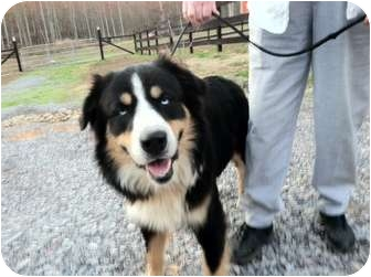 Bernese Mountain Dog Mix Dog for adoption in Hagerstown, Maryland - Bernie