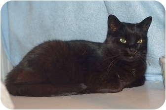 American Shorthair Cat for adoption in Victor, New York - Zeytan