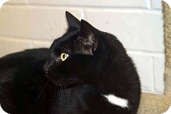 Domestic Shorthair Cat for adoption in New Port Richey, Florida - Zuke