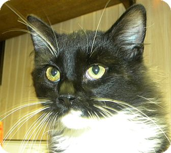 Domestic Longhair Kitten for adoption in Marion, Wisconsin - Beast