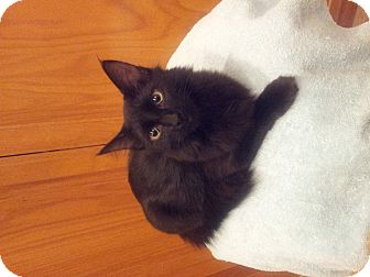 Domestic Longhair Kitten for adoption in Chandler, Arizona - Skittles