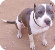 American Pit Bull Terrier Dog for adoption in Santee, California - P!TT! Tyson