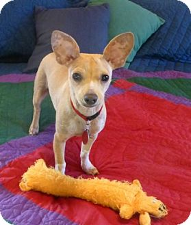 Chihuahua/Terrier (Unknown Type, Small) Mix Dog for adoption in Overland Park, Kansas - T-Rex