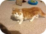 Maine Coon Kitten for adoption in Pittstown, New Jersey - Hugo