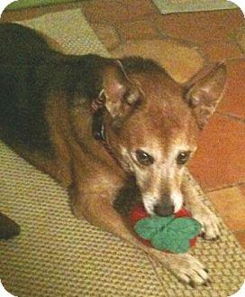 Australian Cattle Dog/Sheltie, Shetland Sheepdog Mix Dog for adoption in Orlando, Florida - Cassie