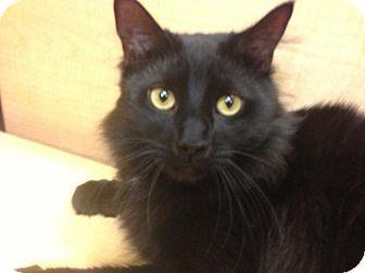 Maine Coon Cat for adoption in Monroe, Georgia - Sebastian