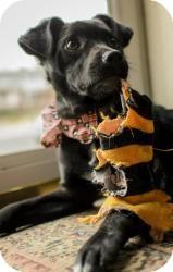 Schipperke/Feist Mix Dog for adoption in Lancaster, Pennsylvania - Arrow (Arek Rzeszotarski)