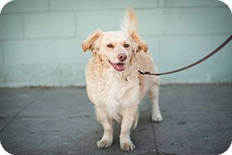 Corgi Mix Dog for adoption in Santa Monica, California - Muppet