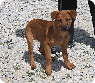 Labrador Retriever Mix Puppy for adoption in Hancock, Michigan - Ava