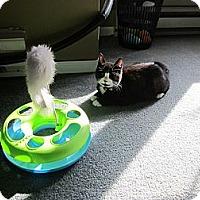 Adopt A Pet :: Tinkerbelle - Southbury, CT