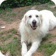 Great Pyrenees Dog for adoption in Austin, Texas - Rue