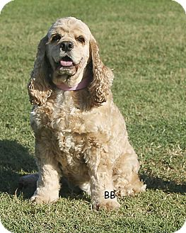 Cocker Spaniel Dog for adoption in Santa Barbara, California - Miss Katie