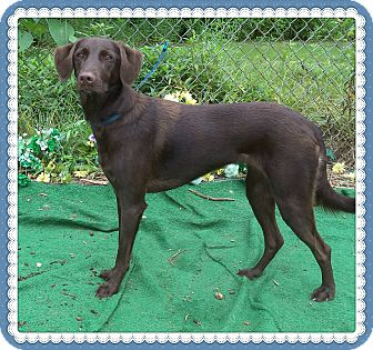 Labrador Retriever Mix Dog for adoption in Marietta, Georgia - MAZIE (R)