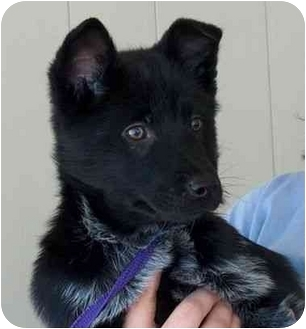 Cattle Dog/Chow Chow Mix Puppy for adoption in Winfield, Kansas - Pepper