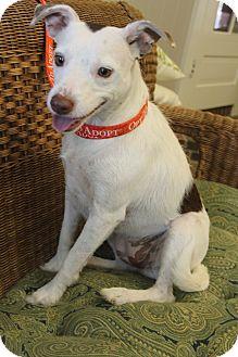 Jack Russell Terrier/Labrador Retriever Mix Dog for adoption in Staunton, Virginia - Lexy