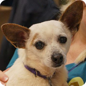 Chihuahua Mix Dog for adoption in Eatontown, New Jersey - Bandit