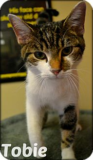 Domestic Shorthair Cat for adoption in Beaumont, Texas - Tobie