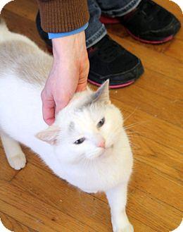 Domestic Shorthair Cat for adoption in Huntsville, Alabama - Bunny