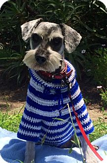 Schnauzer (Standard) Mix Dog for adoption in San Diego, California - ROMEO