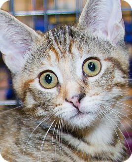 Domestic Shorthair Kitten for adoption in Irvine, California - Izzy