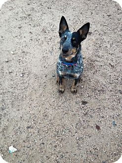 Australian Cattle Dog Dog for adoption in Phoenix, Arizona - FLYER
