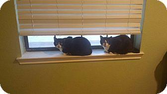 Domestic Shorthair Cat for adoption in Keller, Texas - BB KIng