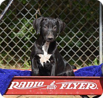Weimaraner Mix Puppy for adoption in Groton, Massachusetts - Jo Nell