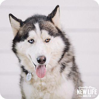 Siberian Husky Dog for adoption in Portland, Oregon - Dakota