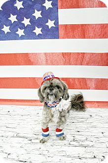 Shih Tzu Mix Dog for adoption in West Allis, Wisconsin - Merlin