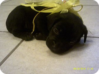 Labrador Retriever Mix Puppy for adoption in North Vancouver, British Columbia - Bitsy
